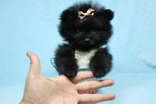 Batman - Teacup Pomeranian Puppy found his loving home with Ann in Studio City, CA-12228