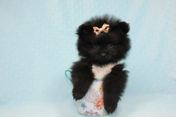 Batman - Teacup Pomeranian Puppy found his loving home with Ann in Studio City, CA-12223