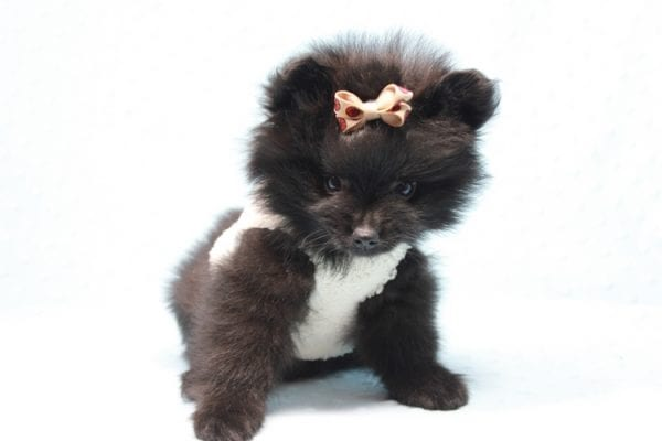 Batman - Teacup Pomeranian Puppy found his loving home with Ann in Studio City, CA-12219