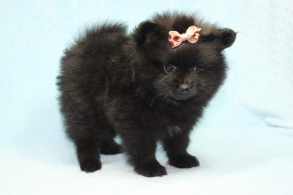 Batman - Teacup Pomeranian Puppy found his loving home with Ann in Studio City, CA-12226