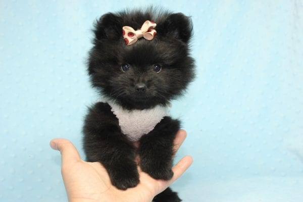 Batman - Teacup Pomeranian Puppy found his loving home with Ann in Studio City, CA-12230