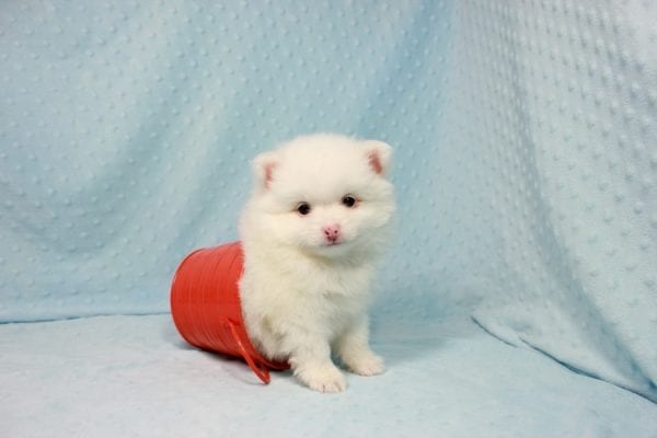 Brad Pitt - Small Pomeranian Puppy In L.A Found A New loving Home with Yaron From Las Vegas NV 89109-0
