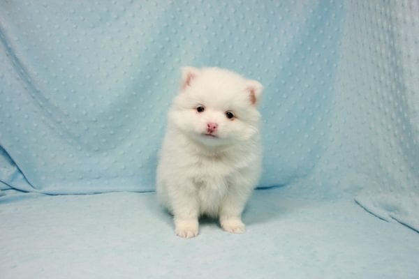 Brad Pitt - Small Pomeranian Puppy In L.A Found A New loving Home with Yaron From Las Vegas NV 89109-11878