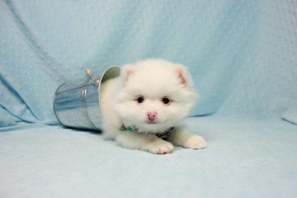 Brad Pitt - Small Pomeranian Puppy In L.A Found A New loving Home with Yaron From Las Vegas NV 89109-11873