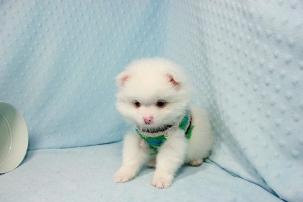 Brad Pitt - Small Pomeranian Puppy In L.A Found A New loving Home with Yaron From Las Vegas NV 89109-11875