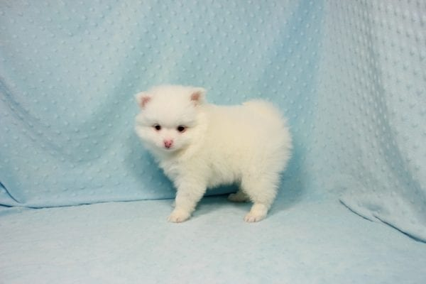 Brad Pitt - Small Pomeranian Puppy In L.A Found A New loving Home with Yaron From Las Vegas NV 89109-11872
