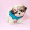 Britney Spears - Teacup Shih Tzu Puppy has found a good loving home with Thea from Las Vegas, NV 89135-11953