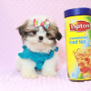 Britney Spears - Teacup Shih Tzu Puppy has found a good loving home with Thea from Las Vegas, NV 89135-11950