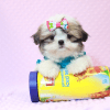 Britney Spears - Teacup Shih Tzu Puppy has found a good loving home with Thea from Las Vegas, NV 89135-11951