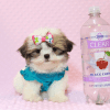 Britney Spears - Teacup Shih Tzu Puppy has found a good loving home with Thea from Las Vegas, NV 89135-0