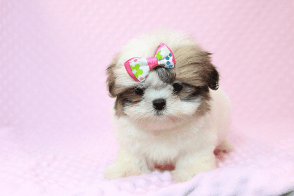 Britney Spears - Teacup Shih Tzu Puppy has found a good loving home with Thea from Las Vegas, NV 89135-11954