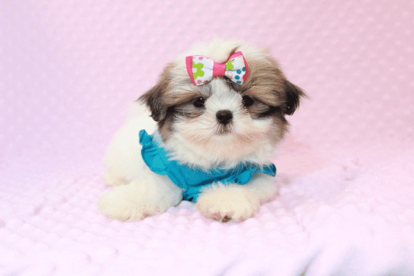 Britney Spears - Teacup Shih Tzu Puppy has found a good loving home with Thea from Las Vegas, NV 89135-11949