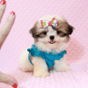 Britney Spears - Teacup Shih Tzu Puppy has found a good loving home with Thea from Las Vegas, NV 89135-11955