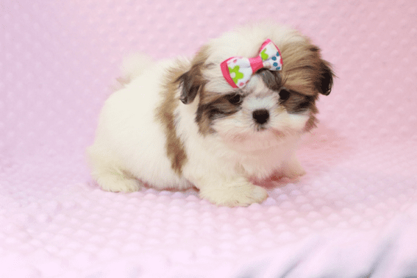 Britney Spears - Teacup Shih Tzu Puppy has found a good loving home with Thea from Las Vegas, NV 89135-11948