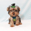 Charlie - Toy Yorkie Puppy has found a good loving home with Marilu from San Bernardino, CA 92404-12071
