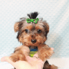 Charlie - Toy Yorkie Puppy has found a good loving home with Marilu from San Bernardino, CA 92404-12070