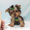 Charlie - Toy Yorkie Puppy has found a good loving home with Marilu from San Bernardino, CA 92404-12073