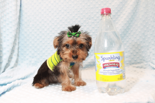 Charlie - Toy Yorkie Puppy has found a good loving home with Marilu from San Bernardino, CA 92404-12072