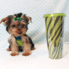 Charlie - Toy Yorkie Puppy has found a good loving home with Marilu from San Bernardino, CA 92404-12074