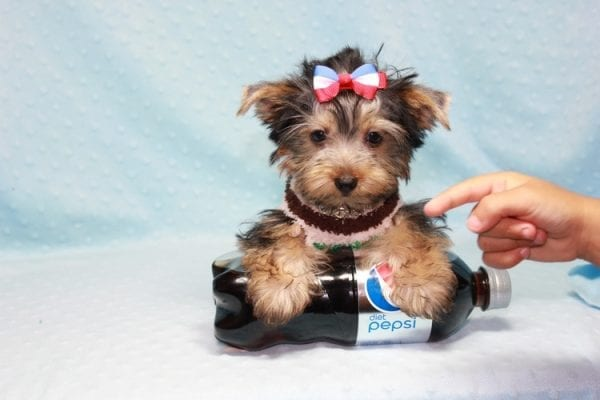 Chase - Teacup Yorkie Puppy in LA Found His Loving Home with Brian form Long Beach CA-12314