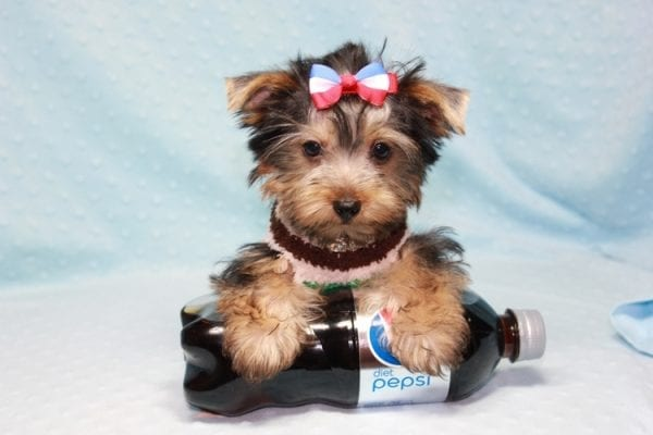 Chase - Teacup Yorkie Puppy in LA Found His Loving Home with Brian form Long Beach CA-12311