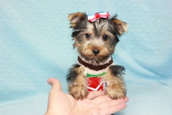 Chase - Teacup Yorkie Puppy in LA