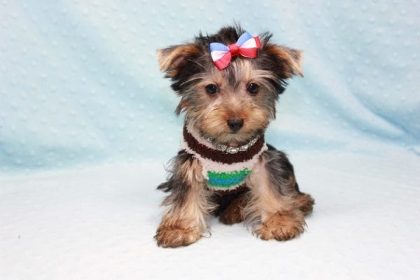 Chase - Teacup Yorkie Puppy in LA Found His Loving Home with Brian form Long Beach CA-12310