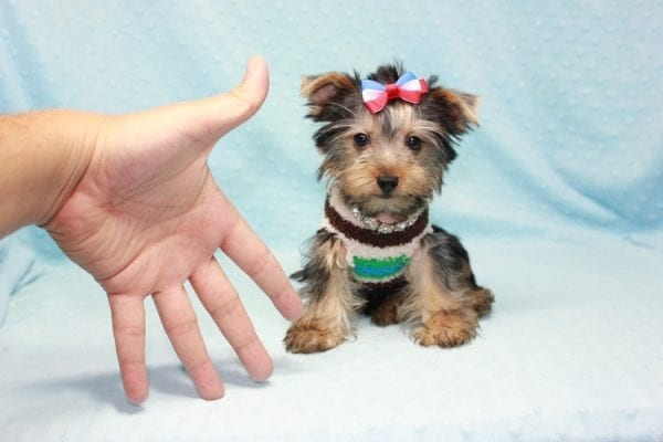 Chase - Teacup Yorkie Puppy in LA Found His Loving Home with Brian form Long Beach CA-12306