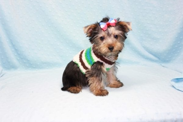 Chase - Teacup Yorkie Puppy in LA Found His Loving Home with Brian form Long Beach CA-12313