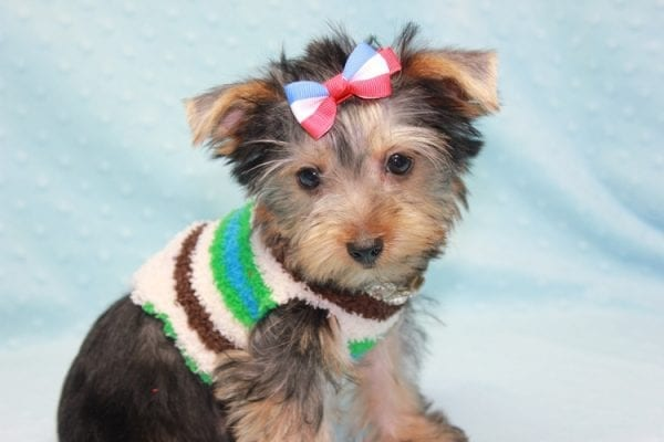 Chase - Teacup Yorkie Puppy in LA Found His Loving Home with Brian form Long Beach CA-12309