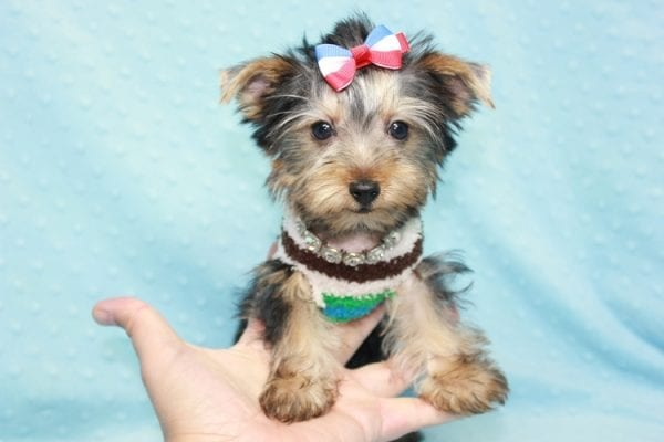 Chase - Teacup Yorkie Puppy in LA Found His Loving Home with Brian form Long Beach CA-12305