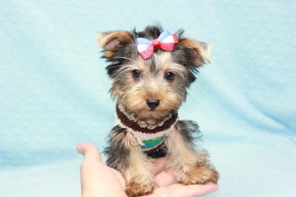Chase - Teacup Yorkie Puppy in LA Found His Loving Home with Brian form Long Beach CA-12312