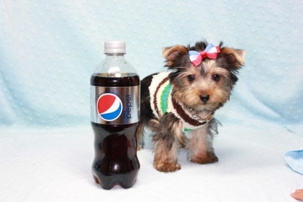 Chase - Teacup Yorkie Puppy in LA Found His Loving Home with Brian form Long Beach CA-12308