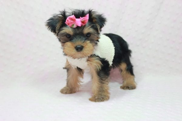 Coco Chanel - Teacup Yorkie Puppy Found Her Loving Home with Jamie From Canyon Country CA-12196