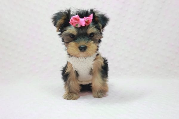Coco Chanel - Teacup Yorkie Puppy Found Her Loving Home with Jamie From Canyon Country CA-12200