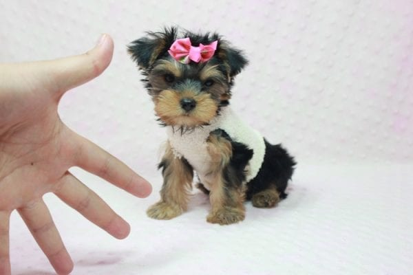 Coco Chanel - Teacup Yorkie Puppy Found Her Loving Home with Jamie From Canyon Country CA-12198