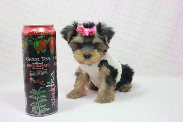 Coco Chanel - Teacup Yorkie Puppy Found Her Loving Home with Jamie From Canyon Country CA-0