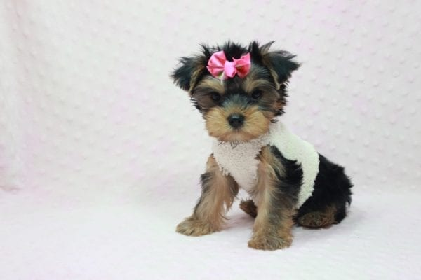 Coco Chanel - Teacup Yorkie Puppy Found Her Loving Home with Jamie From Canyon Country CA-12197