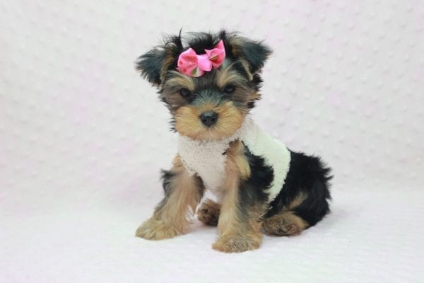 Coco Chanel - Teacup Yorkie Puppy Found Her Loving Home with Jamie From Canyon Country CA-12199