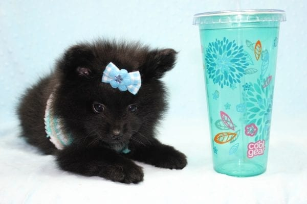 Dark Night - Teacup Pomeranian Puppy found his loving home with Paulina in Midway City, CA-12235