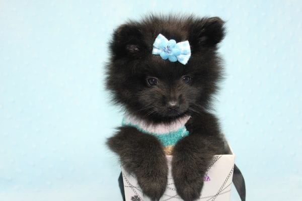 Dark Night - Teacup Pomeranian Puppy found his loving home with Paulina in Midway City, CA-12237