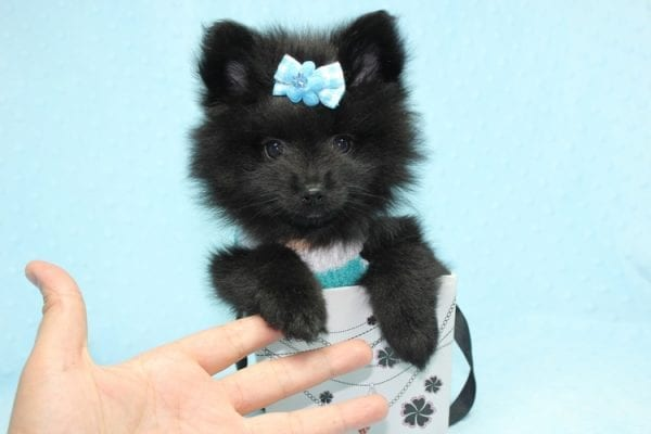 Dark Night - Teacup Pomeranian Puppy found his loving home with Paulina in Midway City, CA-12231