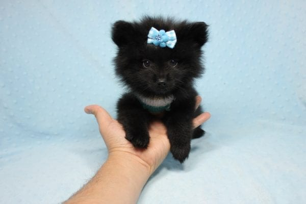 Dark Night - Teacup Pomeranian Puppy found his loving home with Paulina in Midway City, CA-12236