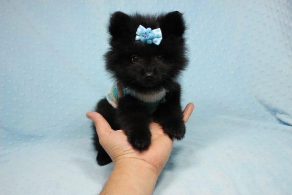 Dark Night - Teacup Pomeranian Puppy in CA
