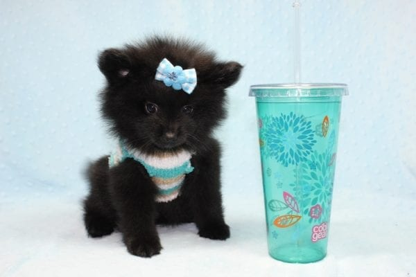 Dark Night - Teacup Pomeranian Puppy found his loving home with Paulina in Midway City, CA-12232