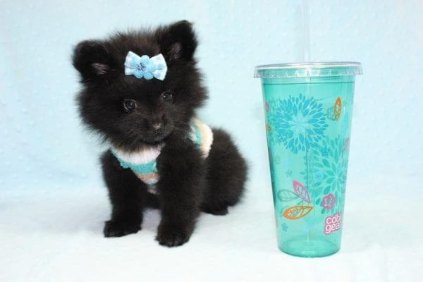 Dark Night - Teacup Pomeranian Puppy found his loving home with Paulina in Midway City, CA-12234