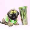 Dory - Teacup Shih Tzu Puppy Has Found A Loving Home!-11968