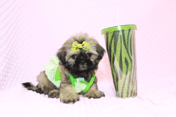 Dory - Teacup Shih Tzu Puppy Has Found A Loving Home!-11968