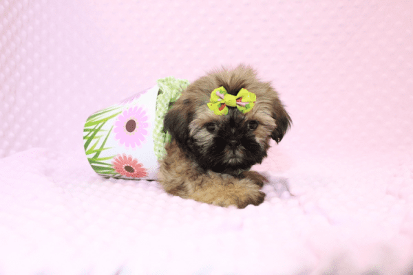 Dory - Teacup Shih Tzu Puppy Has Found A Loving Home!-11965