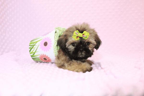 Dory - Teacup Shih Tzu Puppy Has Found A Loving Home!-11965